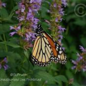 Location: Ray Wiegand's Nursery, Macomb, MIDate: 2010-09-09Monarchs love these
