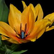 Location: Botanical Gardens of the State of Georgia...Athens, GaDate: 2019-03-30Yellow Tulip With A Blue Pistil 001