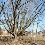 Location: Downingtown, PennsylvaniaDate: 2019-03-09older tree from former nursery location there
