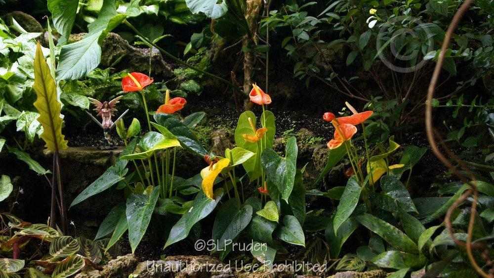 Photo of Anthuriums (Anthurium) uploaded by DaylilySLP
