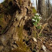 Location: Van Buren, MODate: 2019-04-05Growing in soil clinging to a fallen tree.