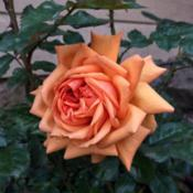Date: 2019-04-06Rosa 'South Africa'