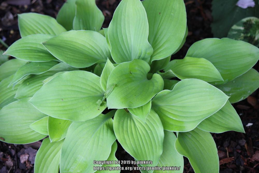 Photo of Hosta 'August Moon' uploaded by pinkiris