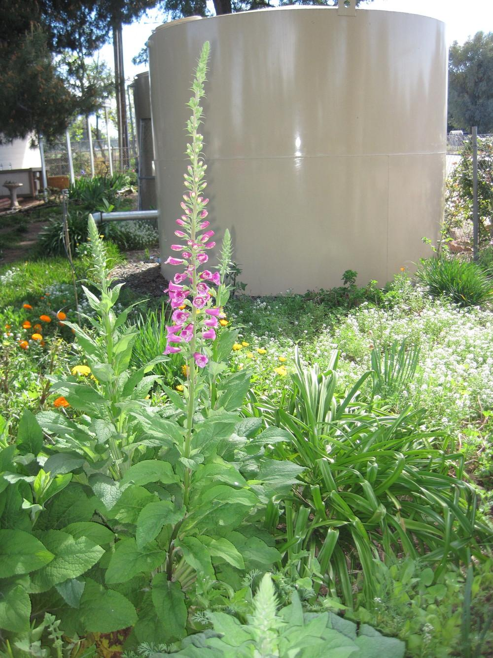 Photo of Foxgloves (Digitalis) uploaded by shalyn