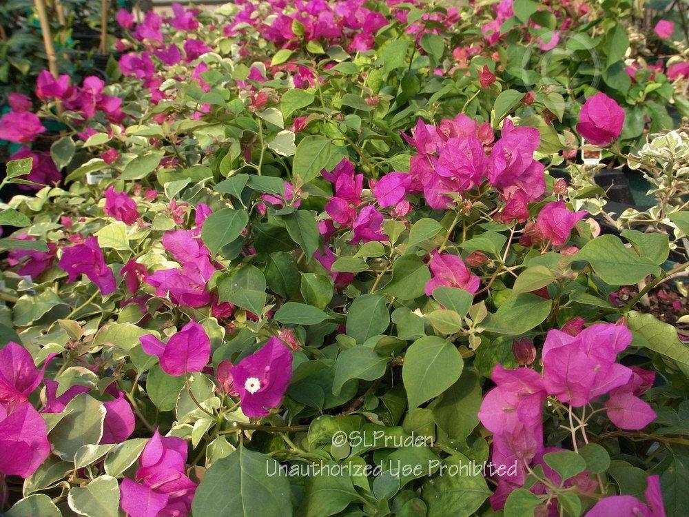 Photo of Bougainvilleas (Bougainvillea) uploaded by DaylilySLP
