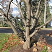 Location: West Chester, PennsylvaniaDate: 2007-12-03bark and trunk form
