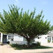 Location: Newtown Square, PennsylvaniaDate: 2011-07-22maturing tree in summer