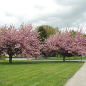 Location: Downingtown, PennsylvaniaDate: 2011-04-28two trees in bloom in school yard