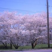 Location: West Chester, PennsylvaniaDate: April of 2003line of trees in bloom