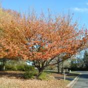 Location: West Chester, PennsylvaniaDate: 2010-11-10full-grown tree in fall colour