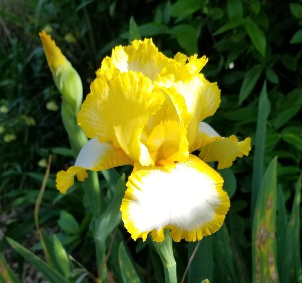 Photo of Tall Bearded Iris (Iris 'Fringe of Gold') uploaded by jigs1968