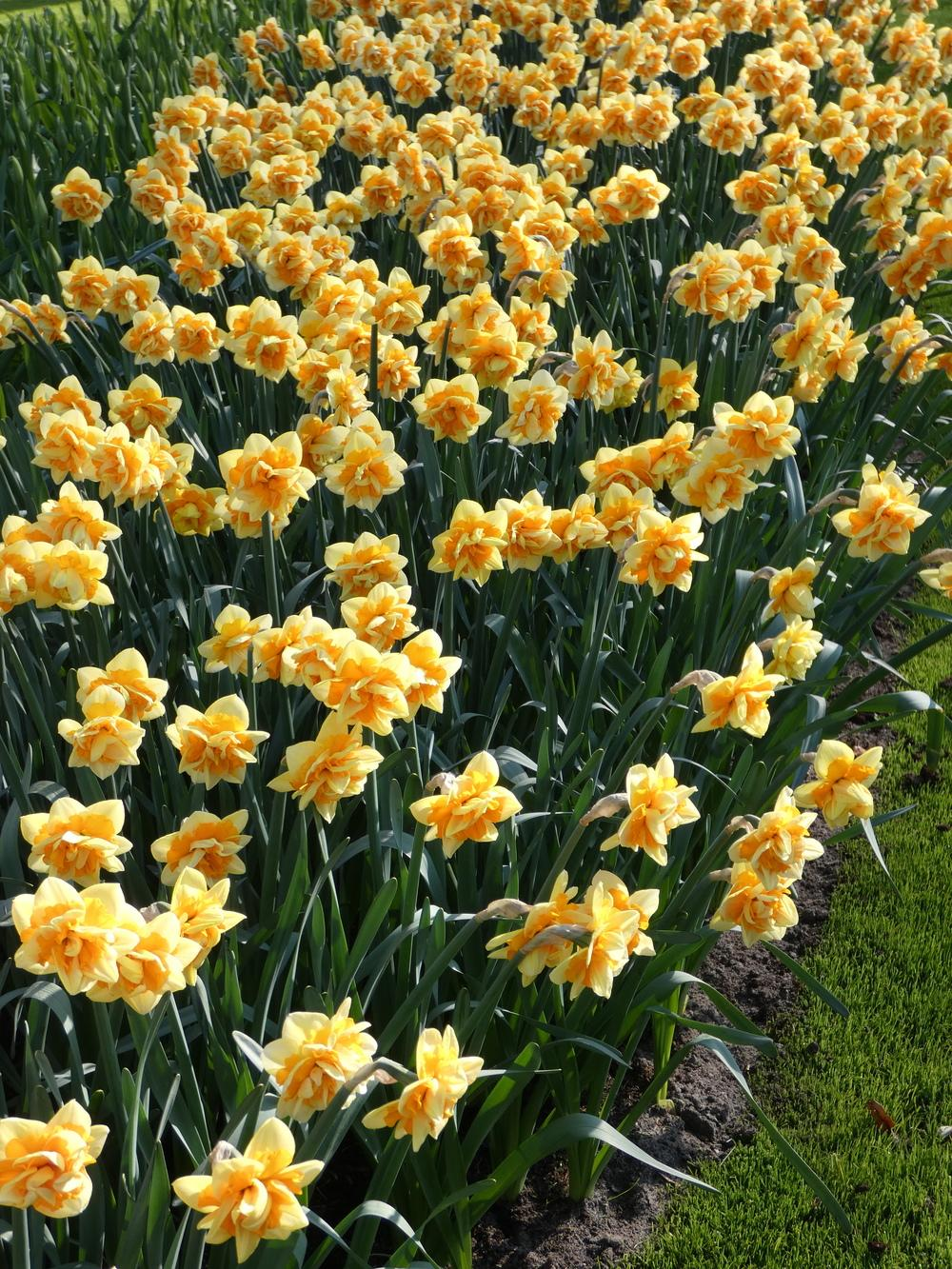 Photo of Double Daffodil (Narcissus 'Jersey Star') uploaded by mellielong