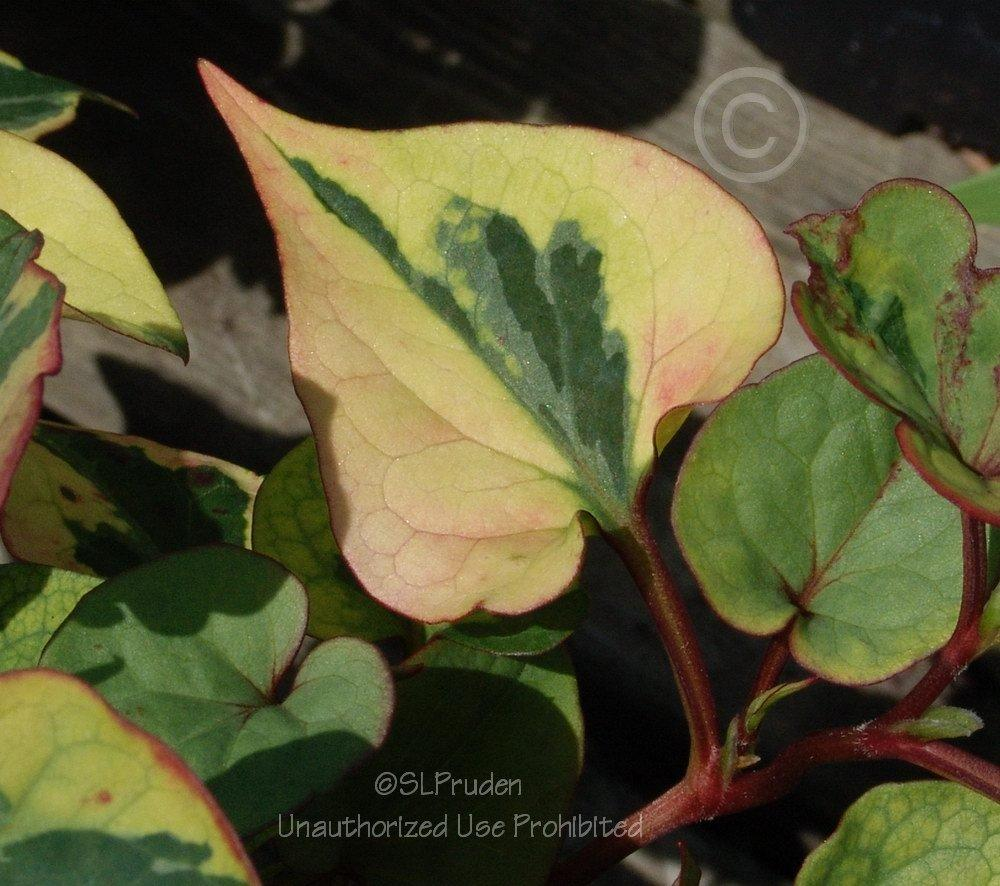 Photo of Hootenanny (Houttuynia cordata 'Chameleon') uploaded by DaylilySLP