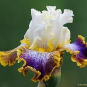 Location: My garden, SwedenDate: June 2018A rather faboulus iris... Very late to bloom so extends