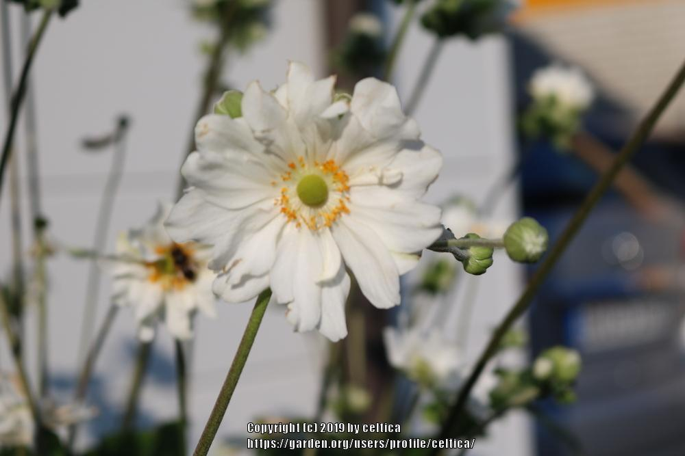 Photo of Japanese Anemone (Eriocapitella hupehensis 'Whirlwind') uploaded by celtica