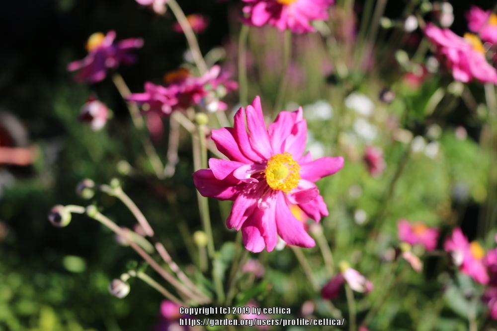 Photo of Japanese Anemone (Eriocapitella hupehensis 'Bressingham Glow') uploaded by celtica