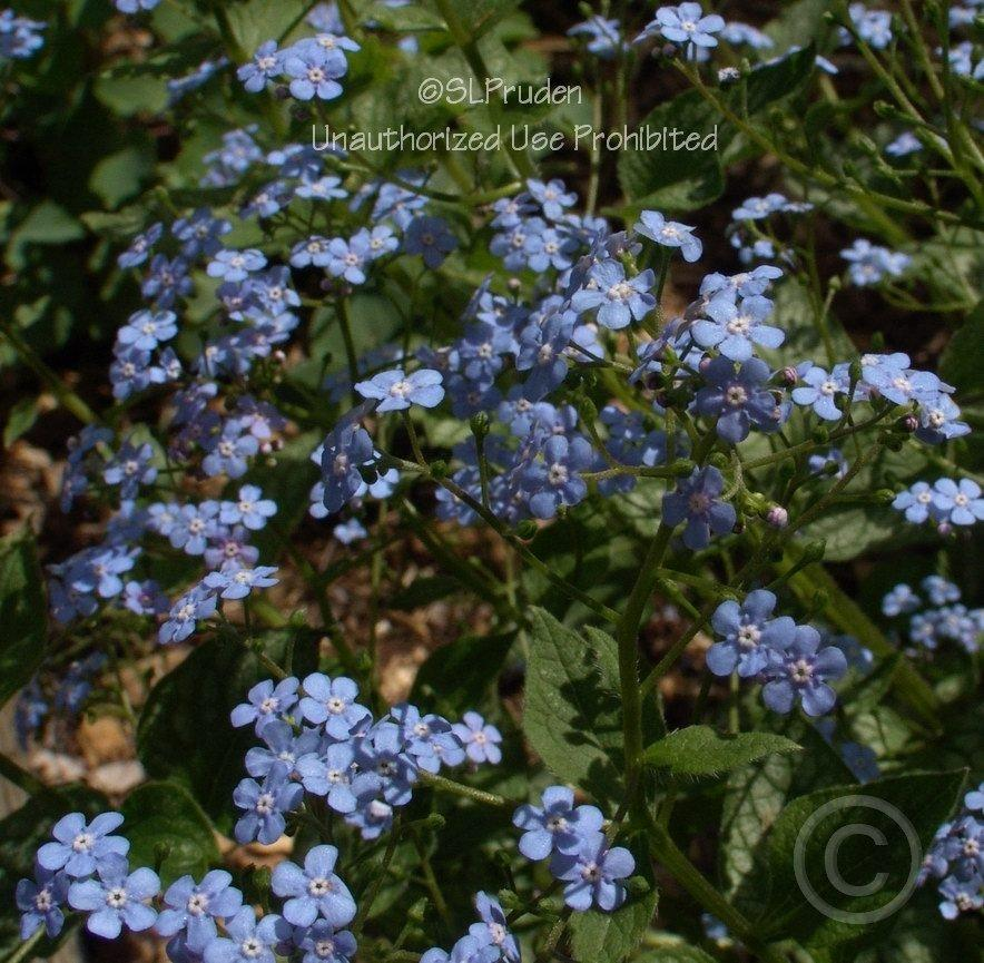 Photo of Brunnera (Brunnera macrophylla 'Jack Frost') uploaded by DaylilySLP