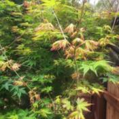 Location: Coastal San Diego County Date: 2019-04-09A happy Japanese Maple here in zone 10a Southern Califo