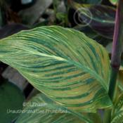 Location: Barson's Greenhouse, Westland, MIDate: 2010-07-01This plant is infected with a Canna Virus