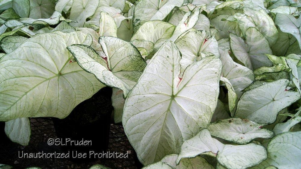 Dwarf Fancy Leaf Caladium Caladium Candidum Junior In The