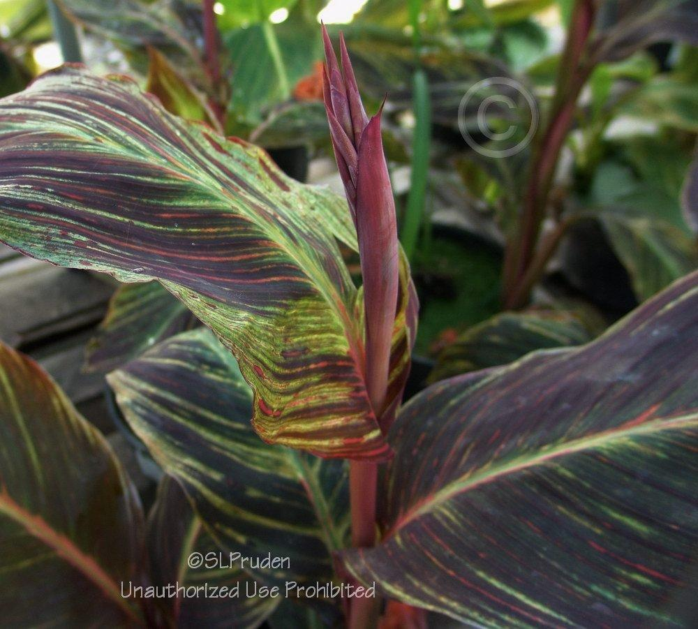 Photo of Canna Lily (Canna 'Pretoria') uploaded by DaylilySLP