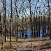 Location: Tupelo Gum Pond, MODate: 2019-04-15Isolated grove in sinkhole pond.