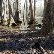 Location: Tupelo Gum Pond, MODate: 2019-04-15Missouri Dept. of Conservation site.