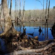 Location: Tupelo Gum Pond, MODate: 2019-04-15Note beaver lodge.