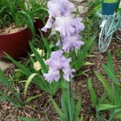 Location: My Caffeinated Garden, Grapevine, TXDate: 2019-04-17An older iris that still has that wow factor!