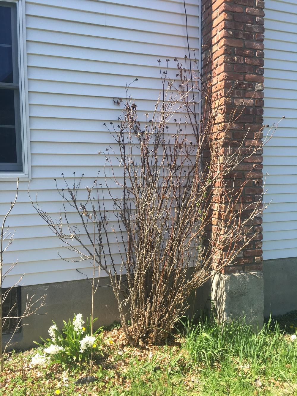 Roses Forum Is This Rose Bush Dead How To Prune Garden Org