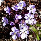 Location: Nora's Garden - Castlegar, B.C.Date: 2019-04-17- Under the mauve flower heads, purple foliage emerges.