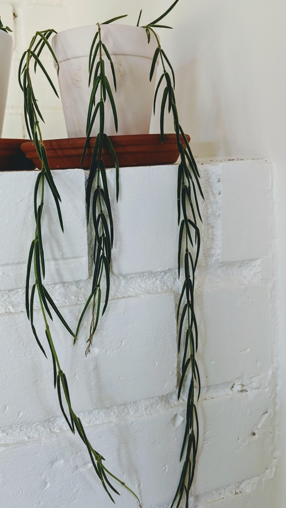 Hoyas Forum How To Propagate A Hoya Linearis Gardenorg