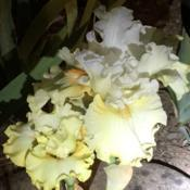 Location: San Rafael, CADate: 2019-04-19Midnight madness with flash light.   Old flower white,