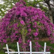 Location: My garden, central NJ, Zone 7ADate: 2019-04-20Grafted Weeping Chinese Redbud Revisited, 1 Year Later