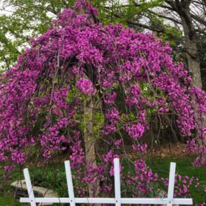 Grafted Weeping Chinese Redbud Revisited, 1 Year Later
