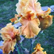 Location: Coastal San Diego County Date: 2019-04-17This is my only Bearded Iris...I am now inspired to get