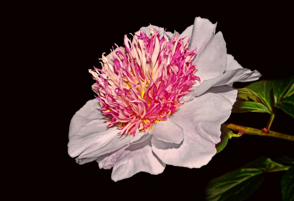 Photo of Peonies (Paeonia) uploaded by dawiz1753