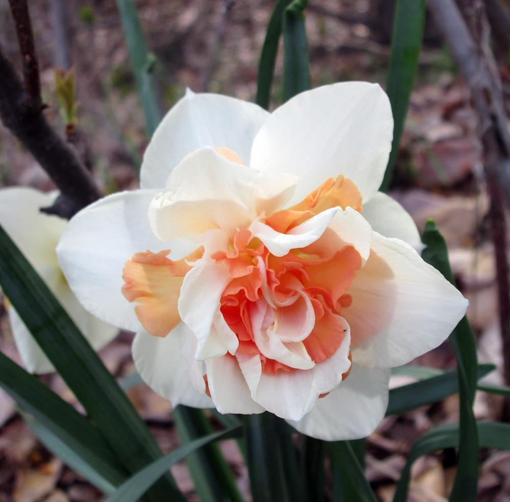 Photo of Double Daffodil (Narcissus 'Rosy Cloud') uploaded by lauribob