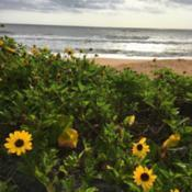 Location: Flagler Beach, FL zone 9aDate: 2019-04-19Plant growing in natural habitat of the beach dunes
