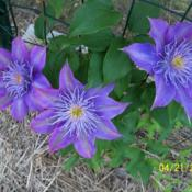 Photo of Clematis Crystal Fountain™