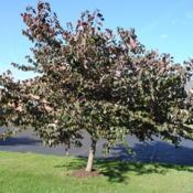 Photo of Eastern Redbud (Cercis canadensis 'Forest Pansy')