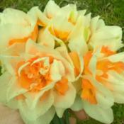 Photo of Double Daffodil (Narcissus 'Rosy Cloud')