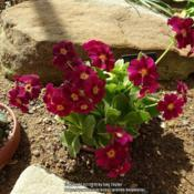 Photo of Primrose (Primula auricula 'Rufus the Red')