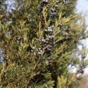 Location: Downingtown, PennsylvaniaDate: 2007-11-19foliage and berries of Eastern Redcedar