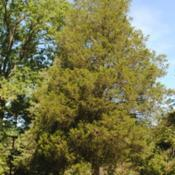 Location: Downingtown, PennsylvaniaDate: 2015-09-16mature Eastern Redcedar