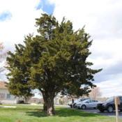 Location: Chester County, PennsylvaniaDate: 2016-04-08mature tree