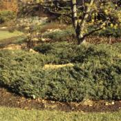 Location: Cantigny Gardens in Wheaton, IllinoisDate: autumn about 1984groundcover group