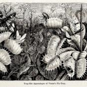 Date: c.1872illustration from 'The Garden', 1872