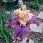 Location: My Caffeinated Garden, Grapevine, TXDate: 2019-04-11A beautiful and long blooming iris with very sturdy sta