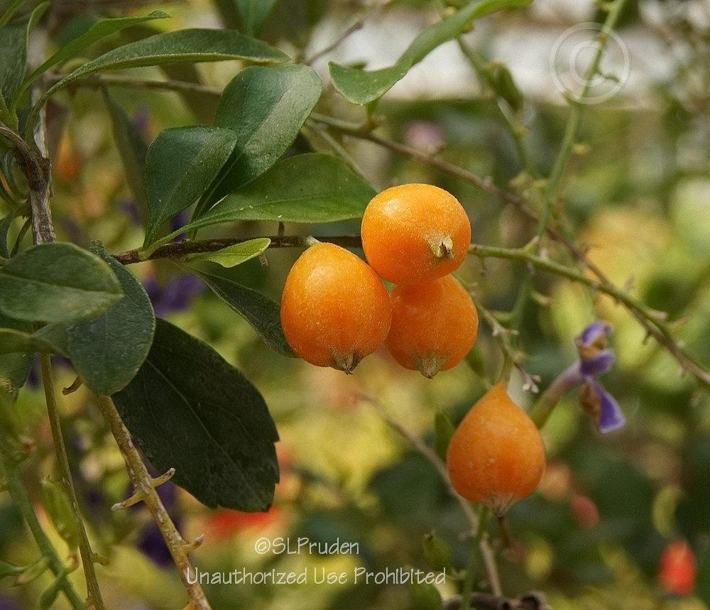 Photo of Golden Dew Drop (Duranta erecta 'Sapphire Showers') uploaded by DaylilySLP
